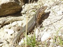 Lizards of Sa Dragonera