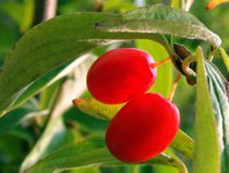 Cornelian Cherry (Kizilcik)