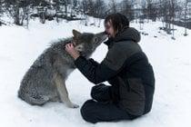 Um beijo de um lobo do Ártico