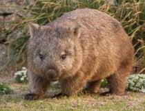 Wombat beobachten