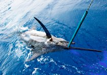 Fishing Blue Marlin
