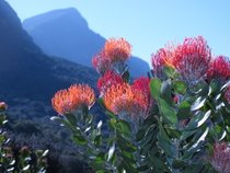 The Bloom of Fynbos