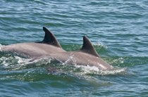 Dolphin Watching in Virginia Beach