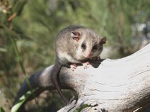 Mountain Pygmy Possum