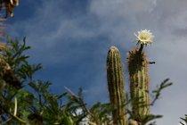 Cactus em Blooming