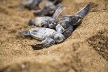 Tartarugas do Bebê