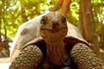 Tortoises gigantes de bebés en la isla penitenciaria