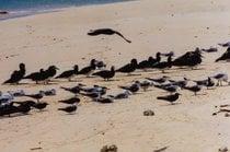 Züchten und Nesten von Meeresvögeln