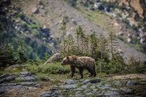 Orsi Grizzly nel Parco nazionale del ghiacciaio