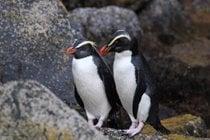 Tawaki—the Rainforest Penguin