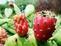 Cactus Pear