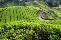 Tea Plantations and Pulled Tea