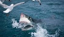 Grande squalo bianco gabbia immersione