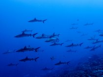Wall of Sharks
