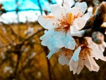 Almond Trees Blossom