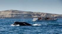Südlicher rechter Wal beobachtet