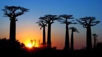 Viale dei Baobabs