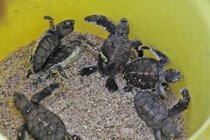 Tortues d'incubation