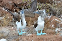 Blue-Footed Booby Performing its Mating Dance