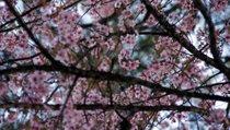 Festival Internacional de Florescencia de Cerezas de la India