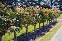 Rosenblüten im Victoria State Rose Garden