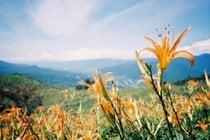 Daylily Blossom