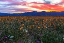 Super Bloom nel deserto di Anza-Borrego