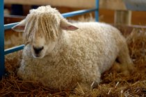 Maryland Sheep & Wool Festival