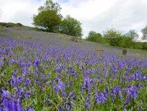 Bluebells em Bloom
