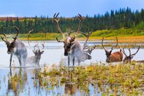 Caribou Autumn Migration