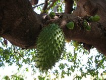 Soursop Season