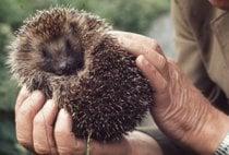 Resgate de Hedgehog