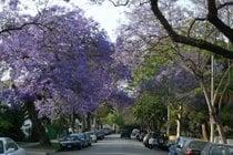 Jacarandas in Bloom