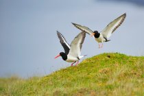 Grækarismessa: The Arrival of the Oyster-Catchers