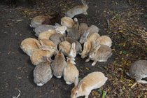 Okunoshima (Rabbit Island)