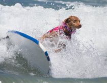 Competizione cani di surf