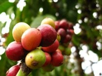 Vietnamese Coffee Harvest