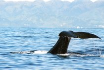 Whale watching (Osservazione delle balene)