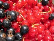 Groselha vermelha e preta ou rips e solbær