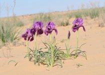 Negev Iris in Bloom