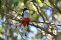 Tocororo (Cuban Trogon) Breeding Season