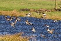 Observação de aves em Lauwersmeer