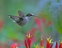 Migrazione dei colibrì