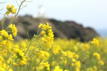 Canola (Yuche) Bloom on Jeju Island
