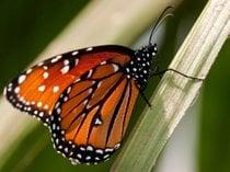 Mariposas monárquicas