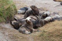 Stagione di allevamento dei leoni marini