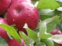 Apple Harvest and Cider Season