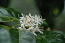 Flowering of Kenya Coffee Plants
