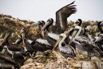 Fauna Marina de las Islas Ballestas