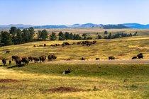 Bison Herd in Wind Cave National Park